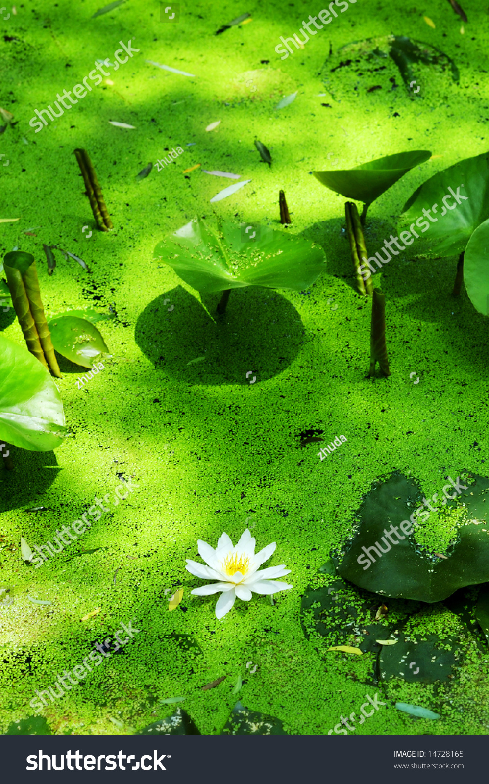 Water lily and duckweed in green pond stock photo 14728165 for Green pond water