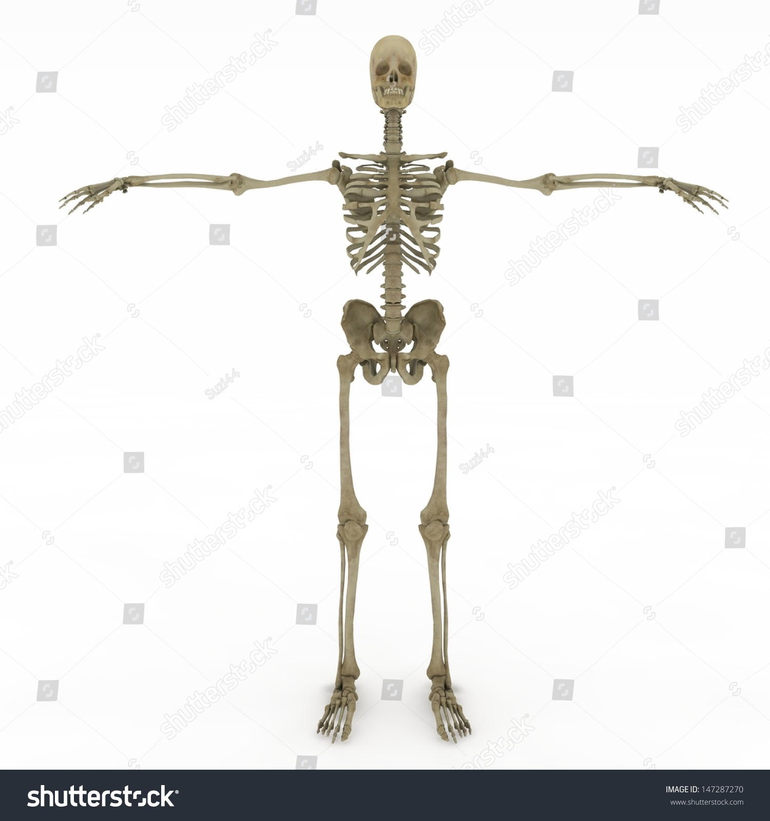 Realistic Detailed And Anatomically Accurate Female Skeleton Ez