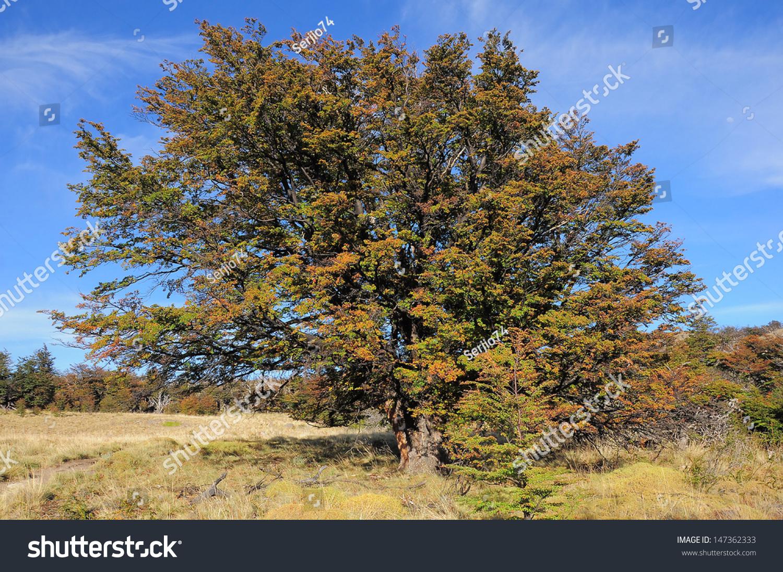Argentina National Tree