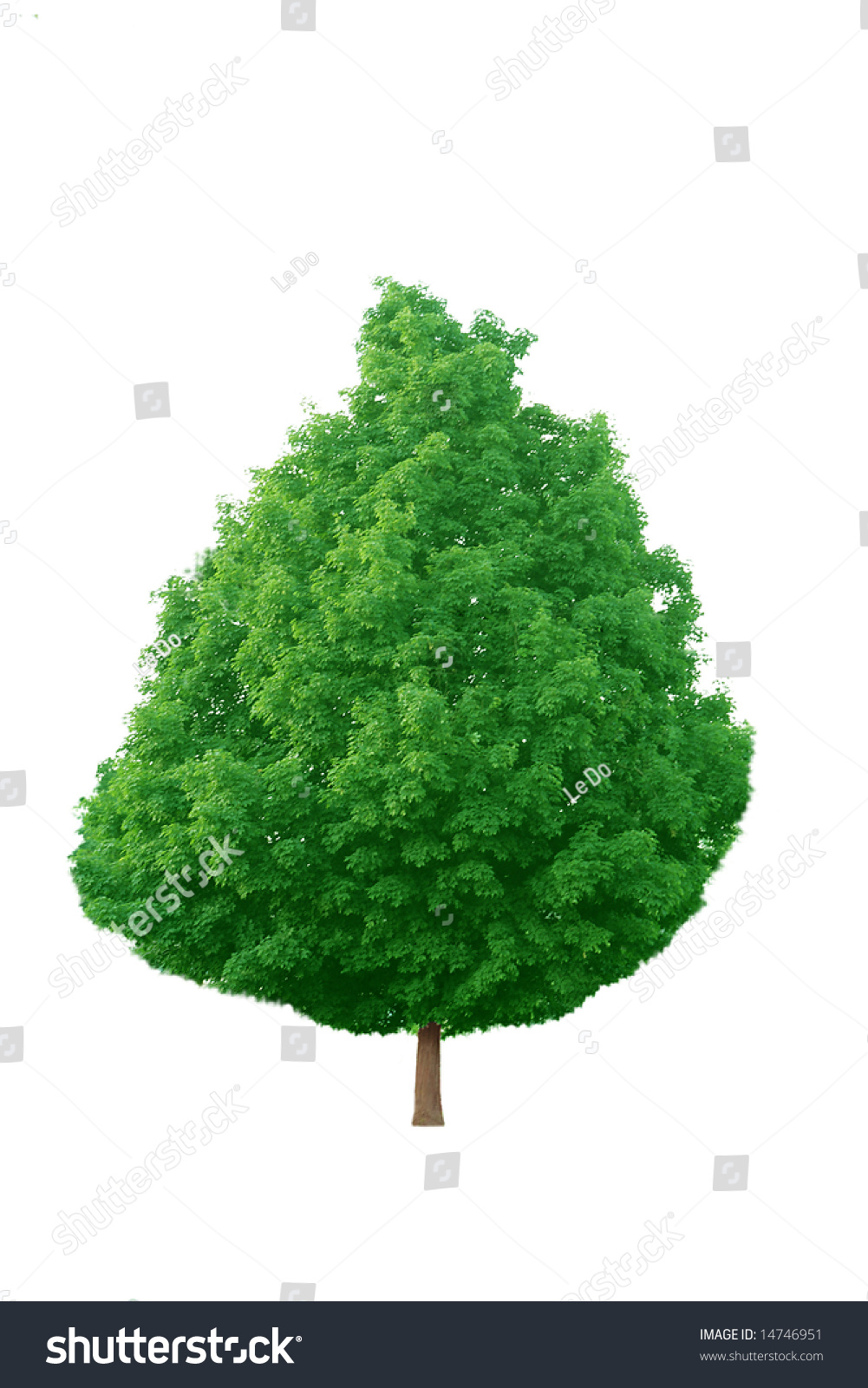 maple latin singles Leaves may be simple (a single leaf blade or lamina) or compound  the latin word for 'leaf', folium, is neuter in descriptions of a single leaf,.
