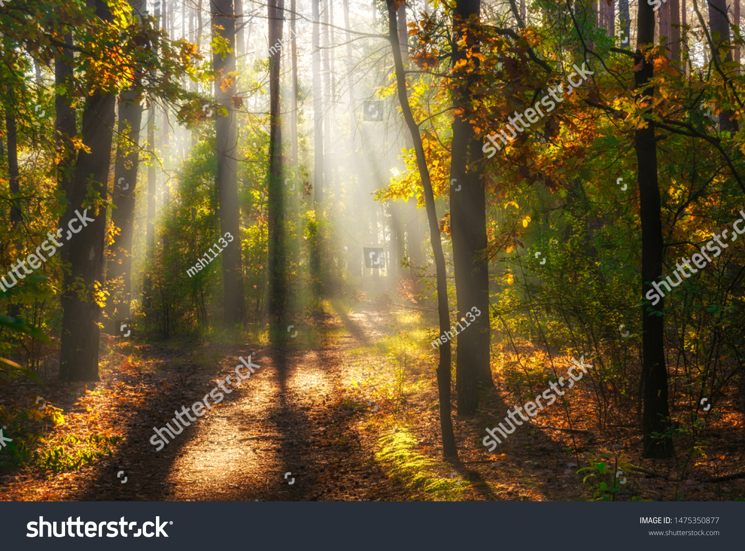 Walk in the woods. Pleasant autumn weather. Sun rays play in the branches of trees. #1475350877