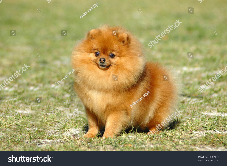 Pomeranian Red