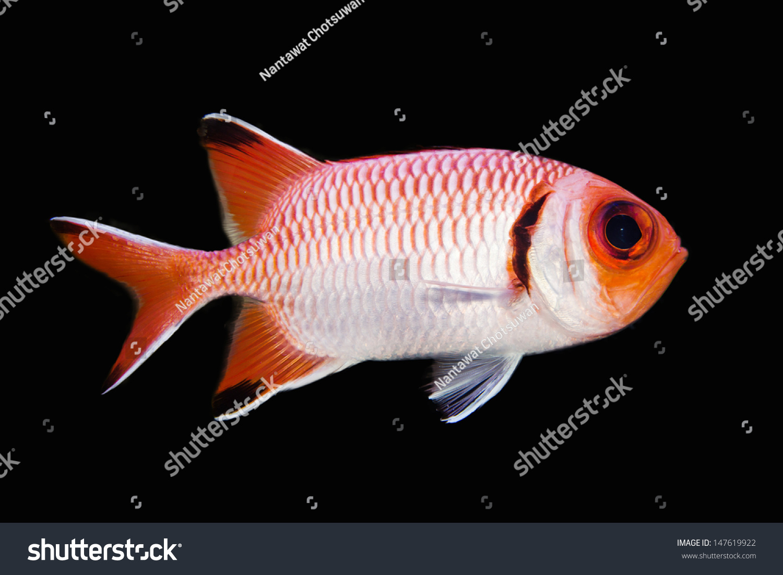 Big eye squirrel fish isolated on stock photo 147619922 for Big eye squirrel fish