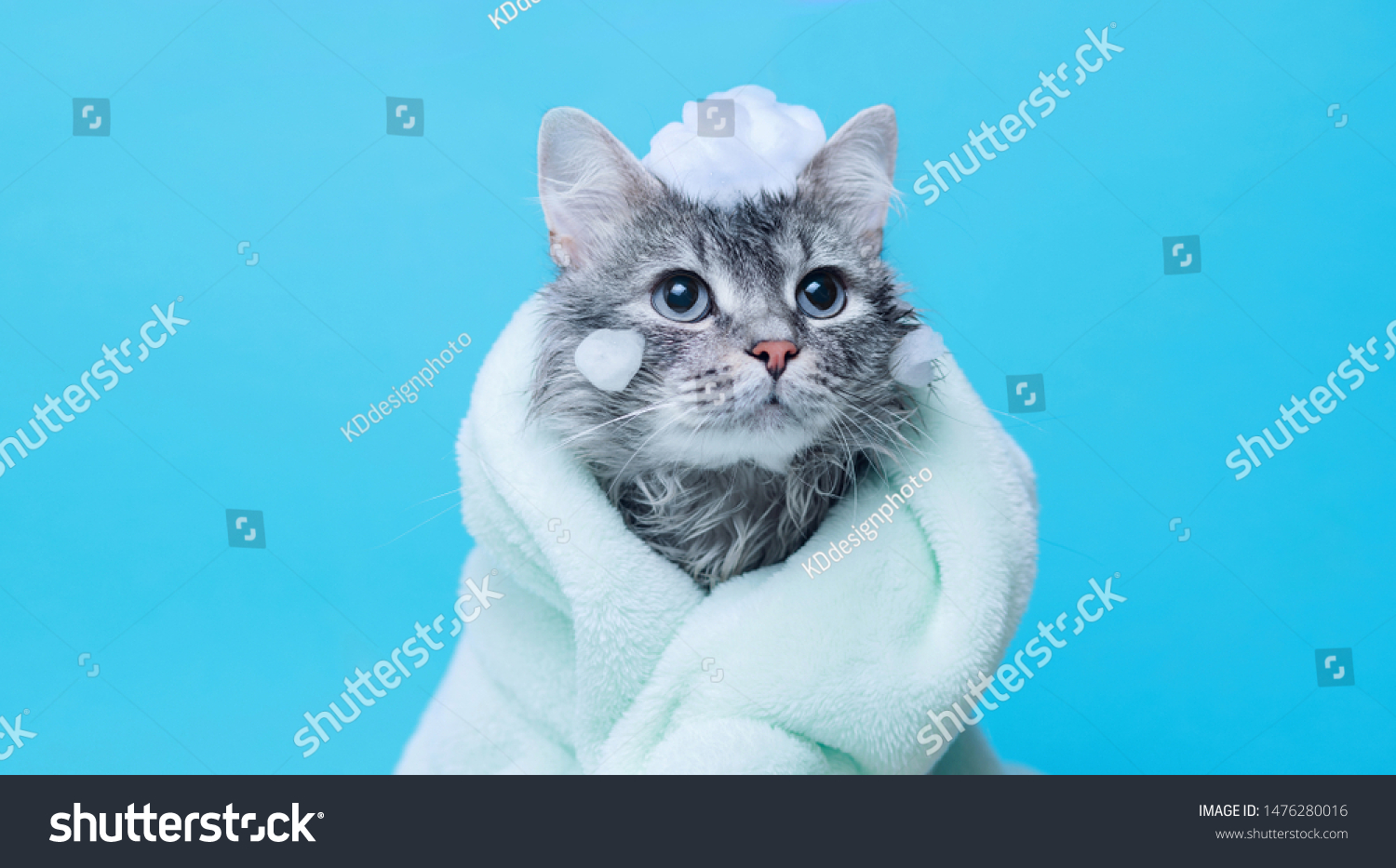 Funny wet gray tabby cute kitten after bath wrapped in green towel with big eyes. Just washed lovely fluffy cat with soap foam on his head on blue background. #1476280016