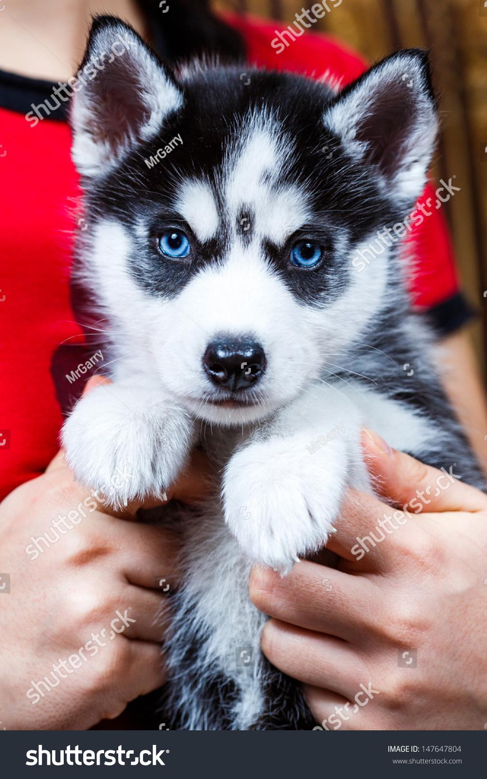 Siberian Husky Puppy Blue Eyes Foto De Stock Editar Ahora 147647804