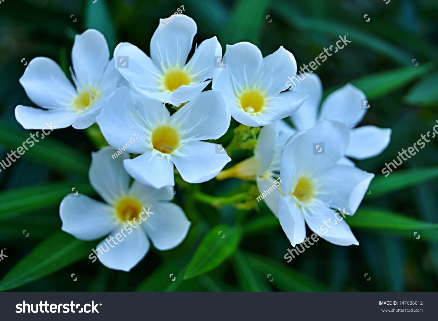White Small Tropical Flowers Yellow Center Stock Photo Edit Now