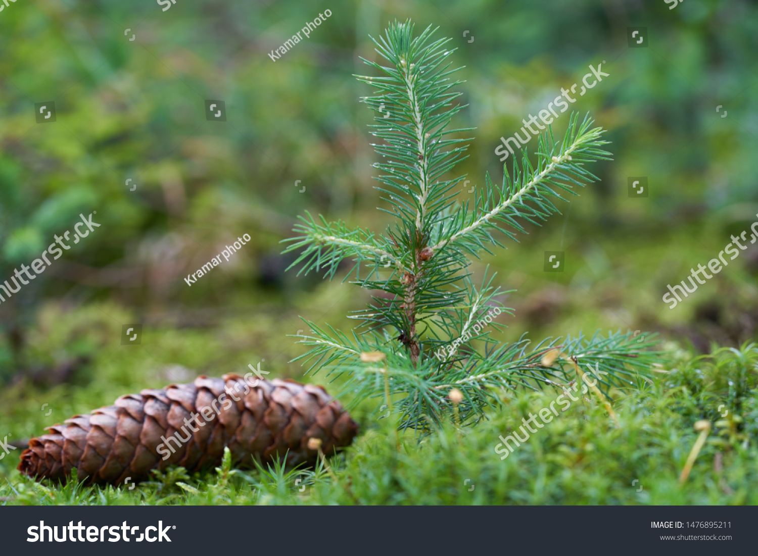 Young spruce tree Picea abies growing in the moss. Also known as Norway spruce or European spruce. Spruce cone on the moss.
