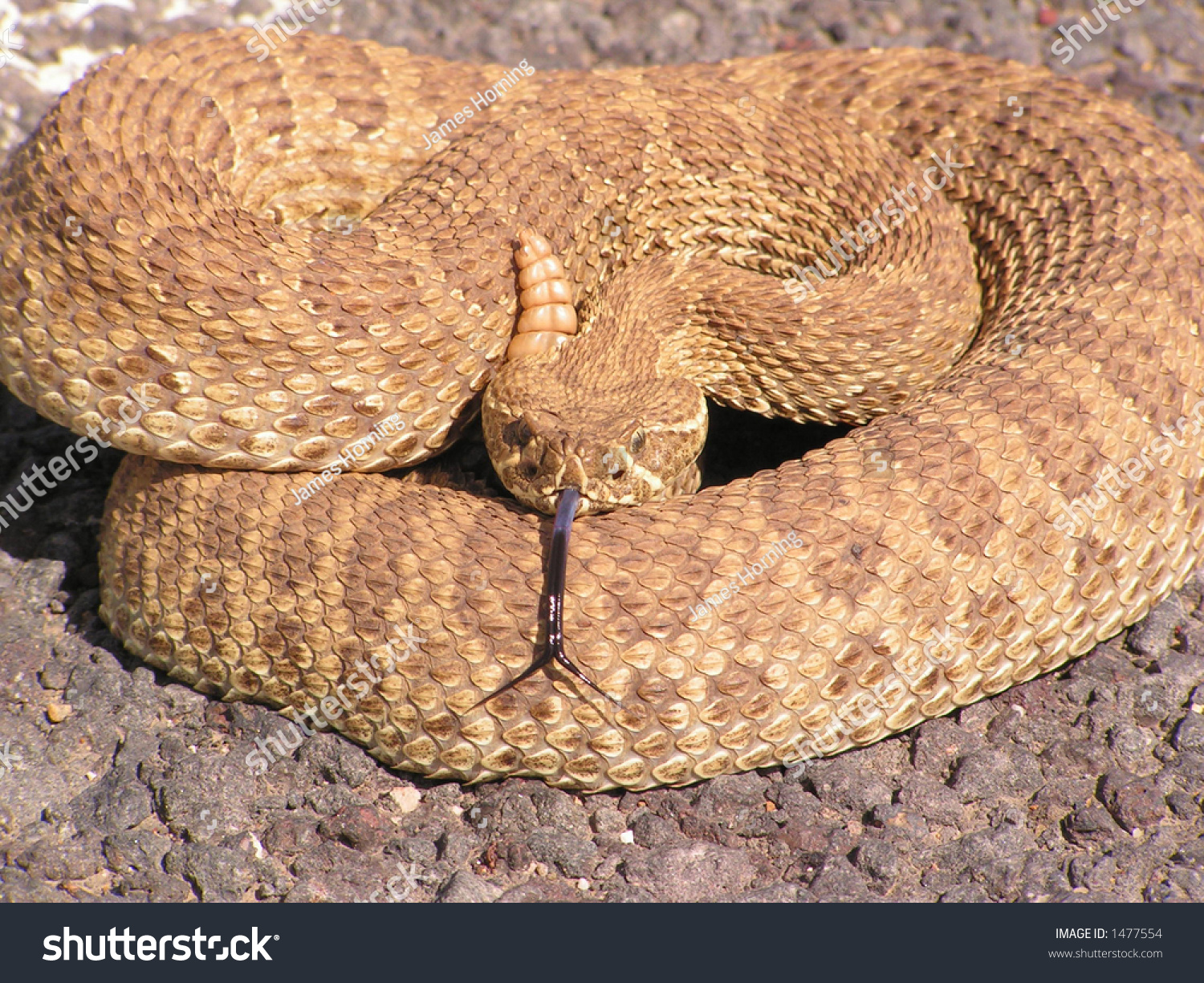 Western diamondback rattlesnake stock photo 1477554 for Western diamondback rattlesnake coloring pages