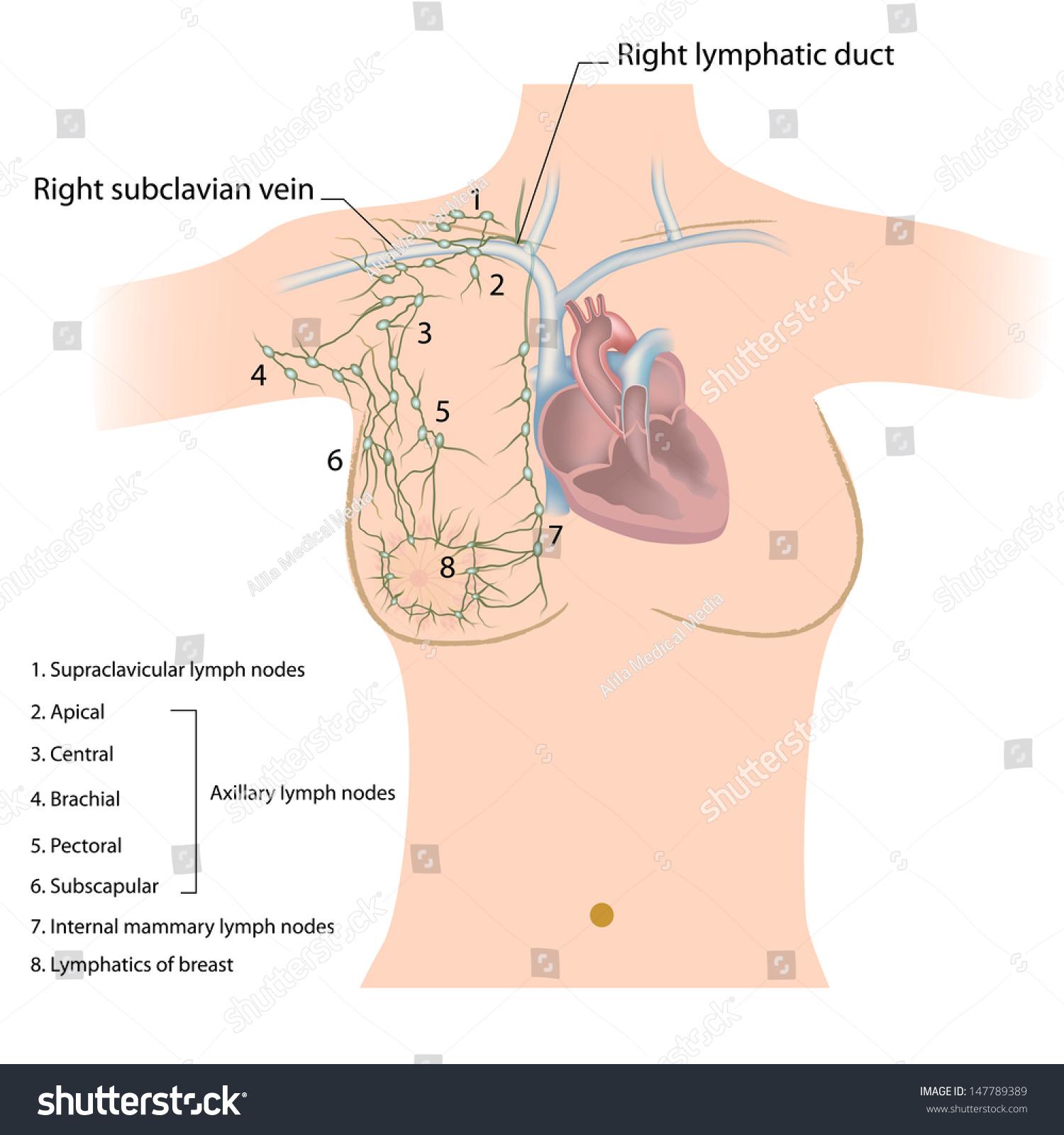 Axillary Groups Lymph Nodes Stock Illustration 147789389 Shutterstock