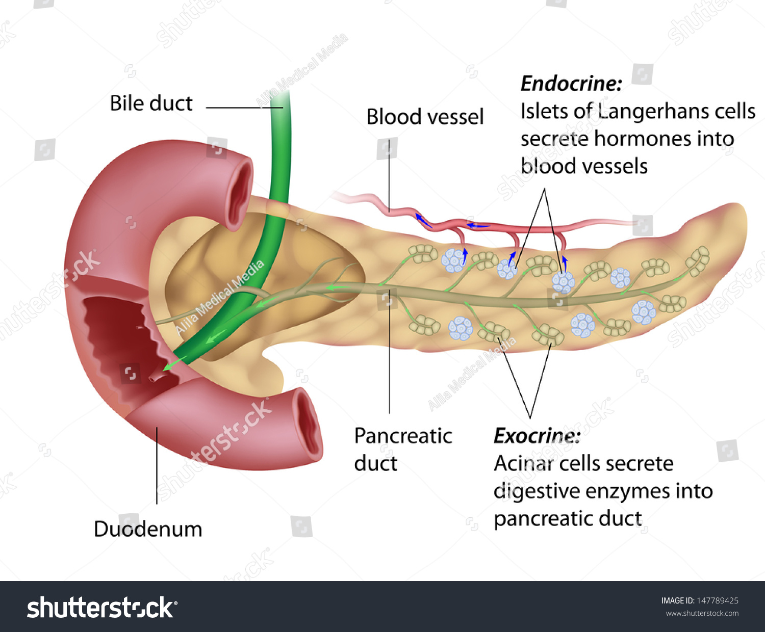 Exocrine Endocrine Pancreas Stock Illustration 147789425 Shutterstock