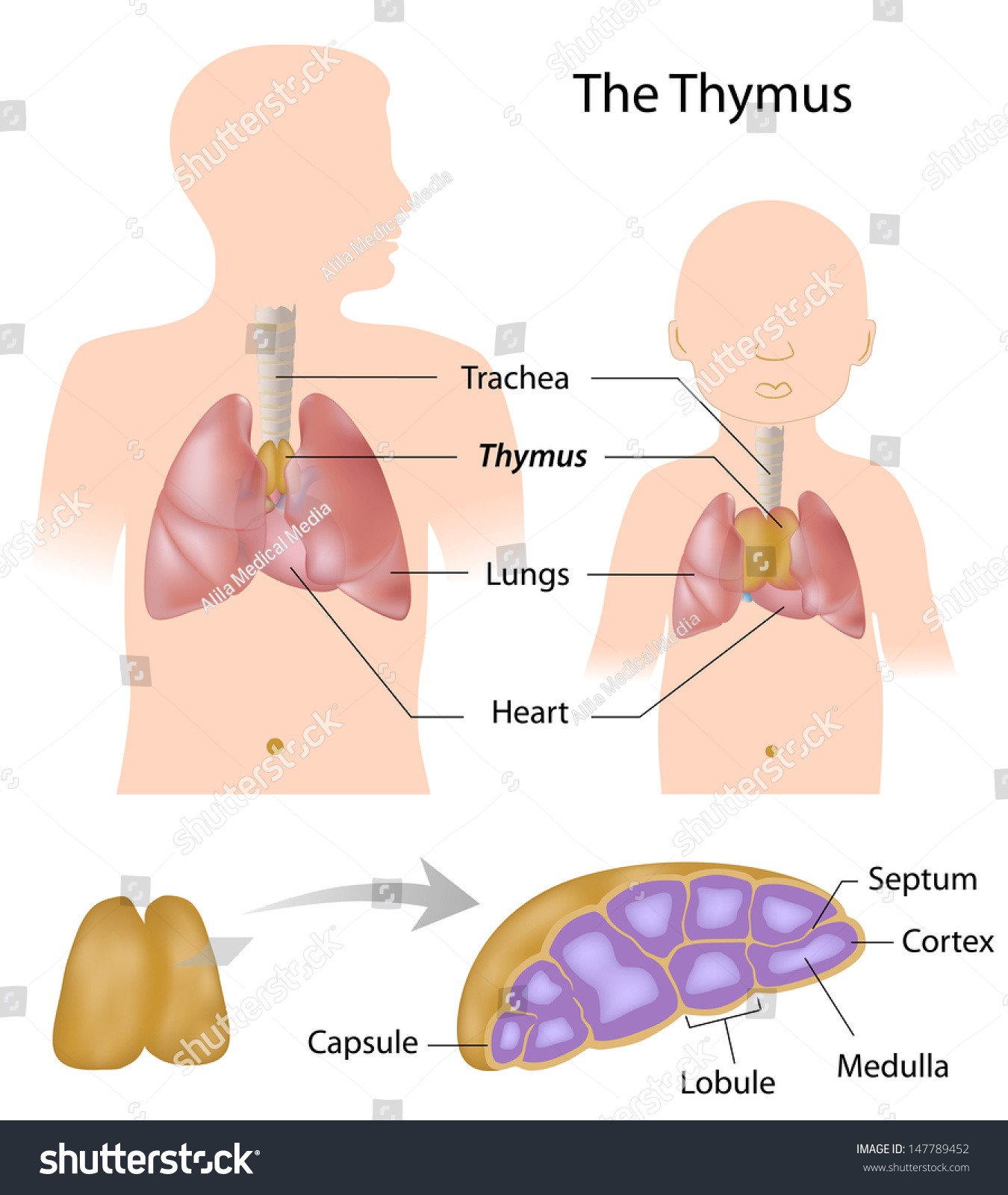 Thymus Gland Anatomy Stock Illustration 147789452 Shutterstock