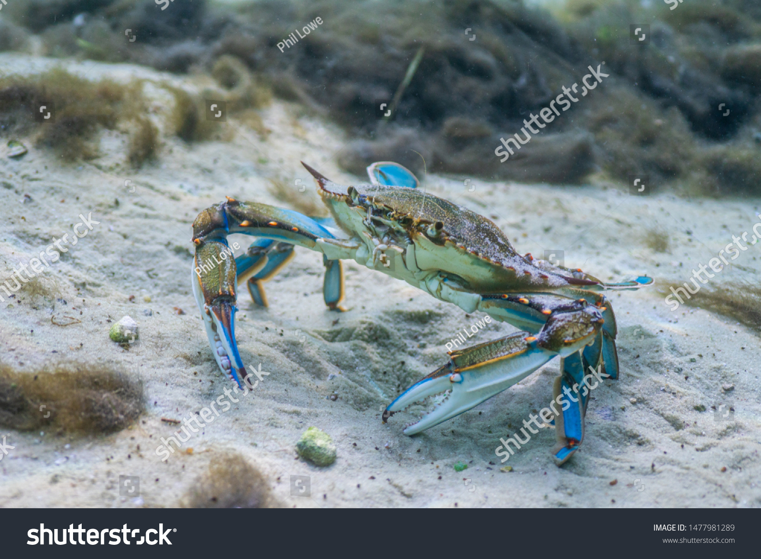 stock-photo-a-wary-blue-crab-callinectes