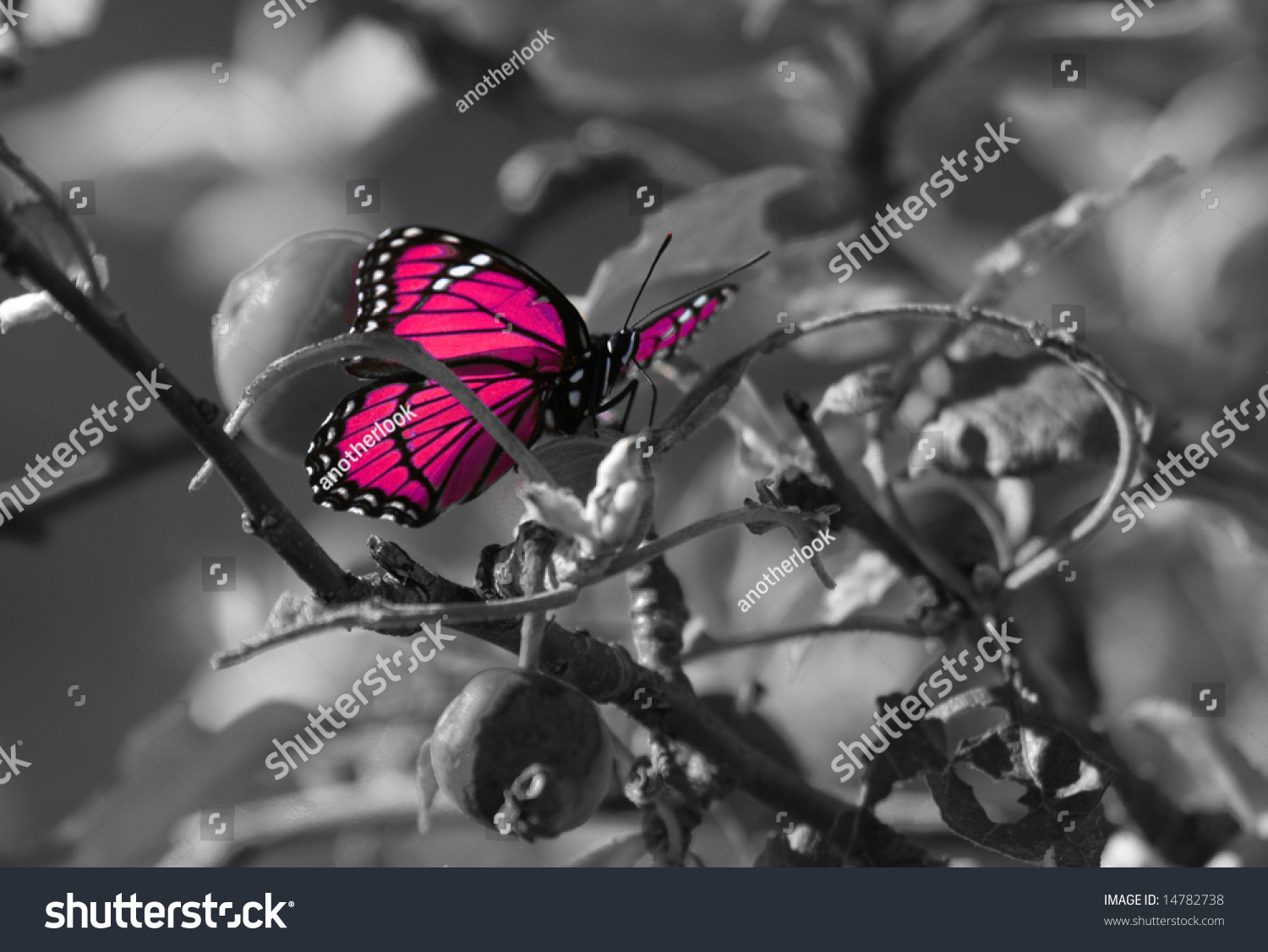 Pink Colorized Butterfly On Black White Stock Photo ...