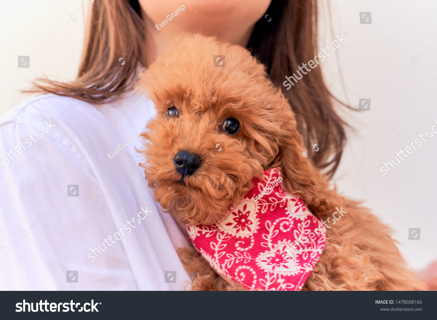Ginger Poodle Wears Red Bandana Around Stock Photo Edit Now 1478698160