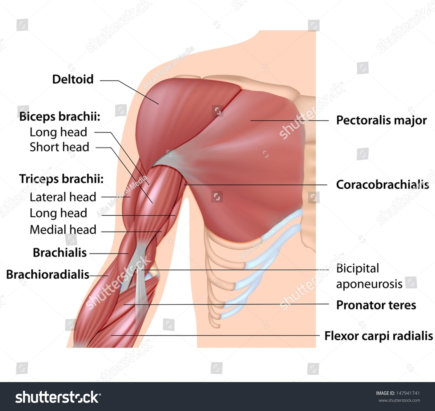 muscles arm anatomy labeled diagram stock illustration 147941741, Human Body