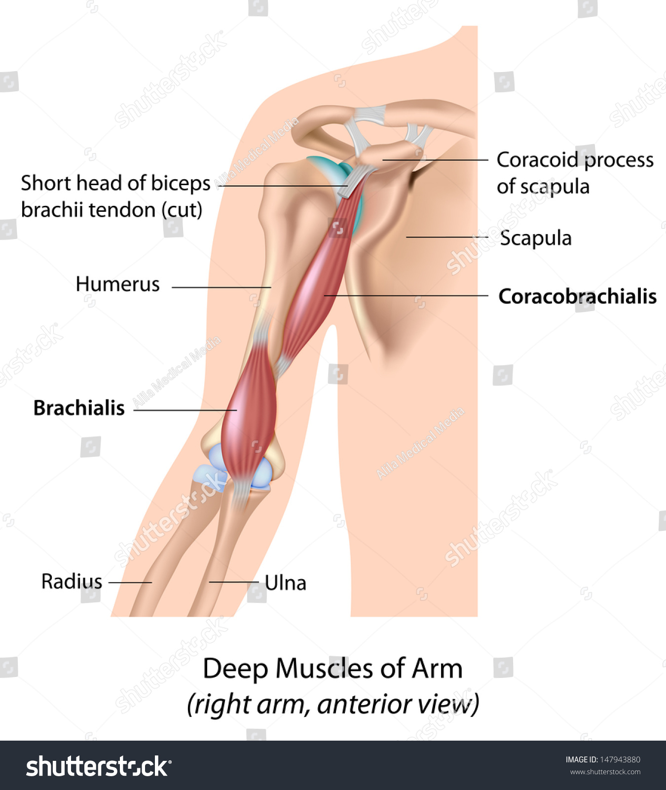 Deep Muscles Arm Labeled Stock Illustration 147943880 Shutterstock