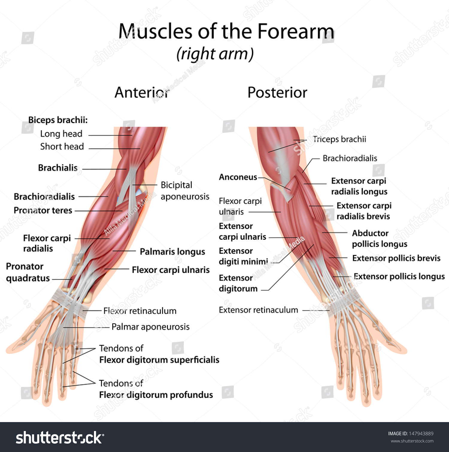 Royalty Free Stock Illustration Of Muscles Forearm Anterior