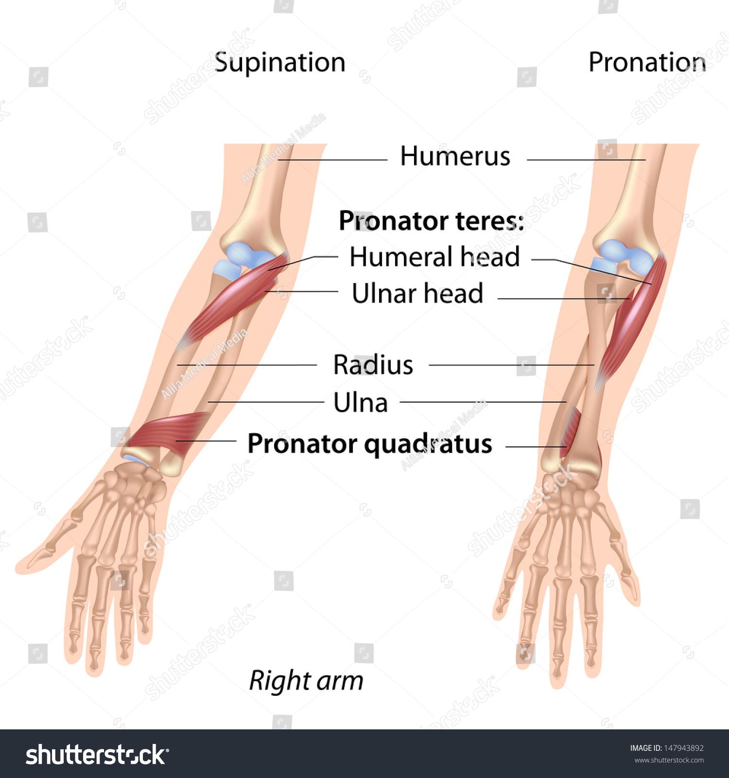 Pronators Muscles Forearm Labeled Stock Illustration 147943892