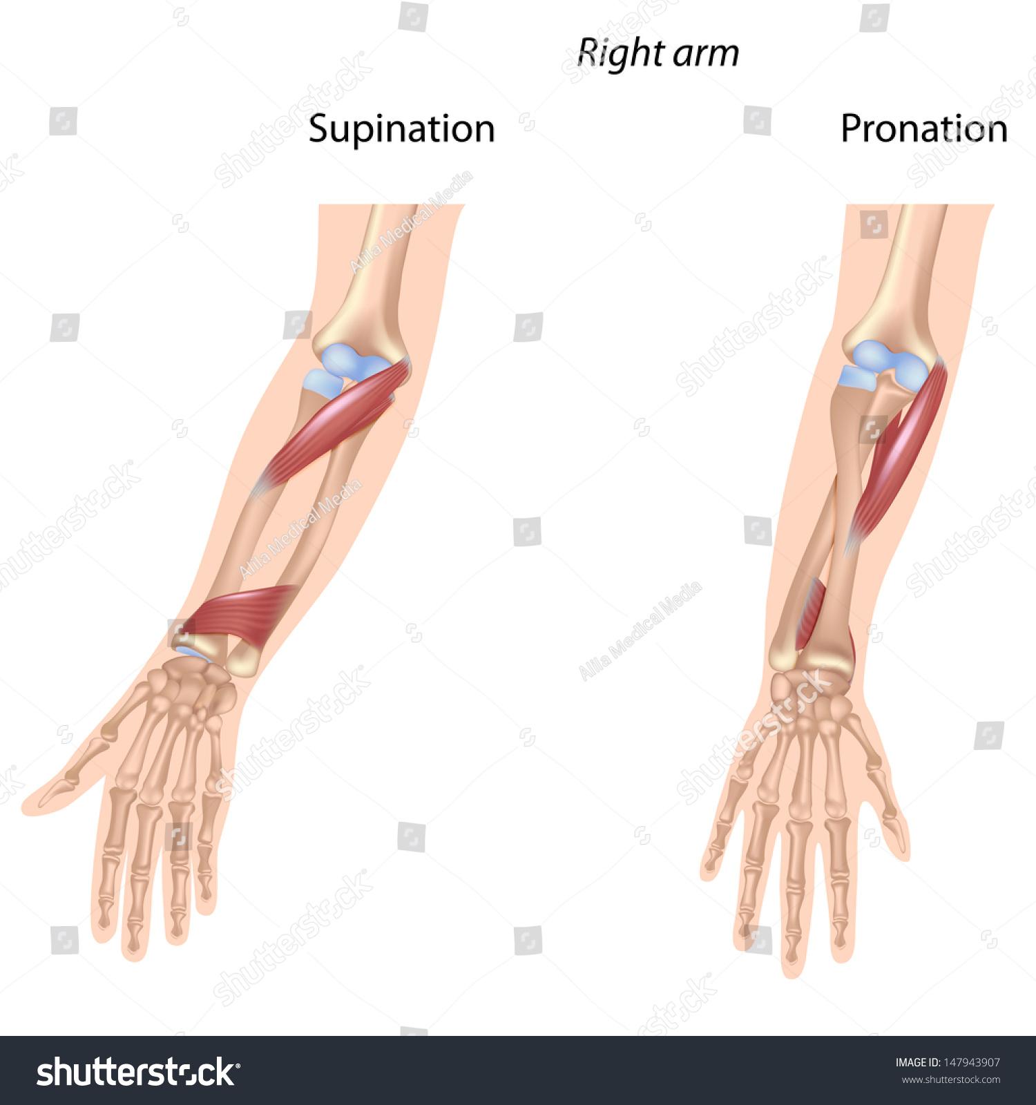 Pronators Muscles Forearm Unlabeled Stock Illustration Royalty