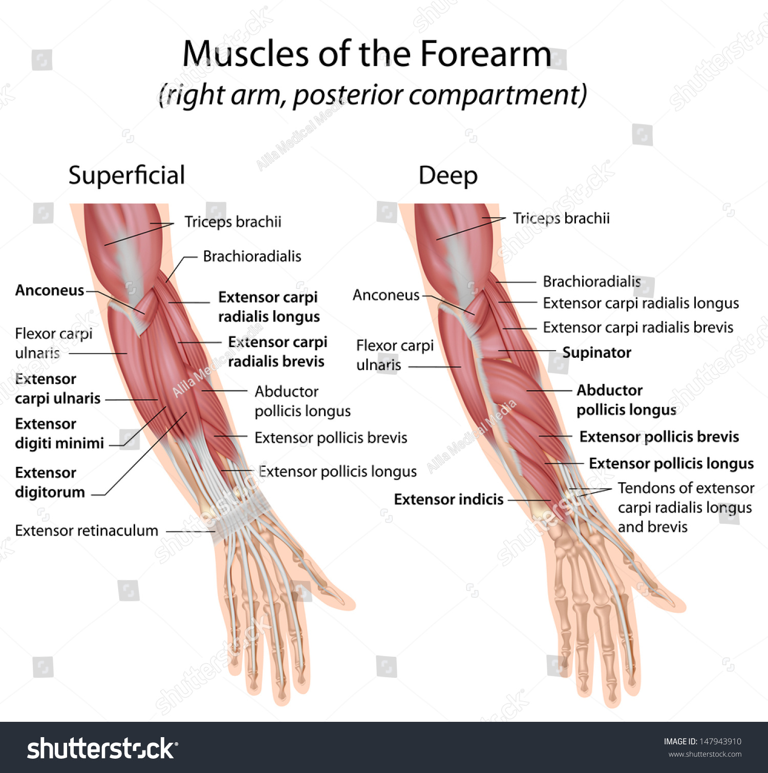 Forearm Muscles Dorsal Compartment Labeled Stock Illustration