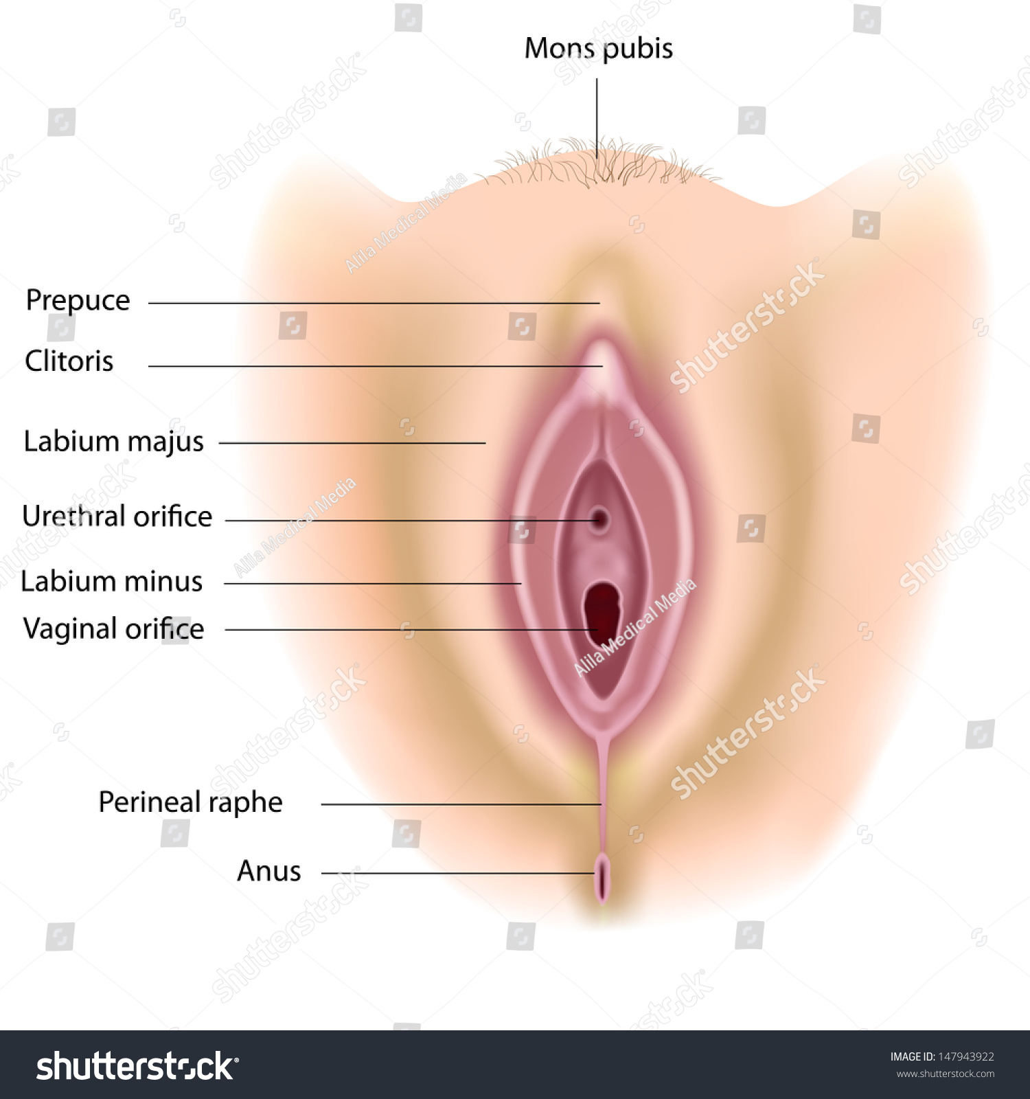 Female Perineum Anatomy Labeled Stock Illustration 147943922