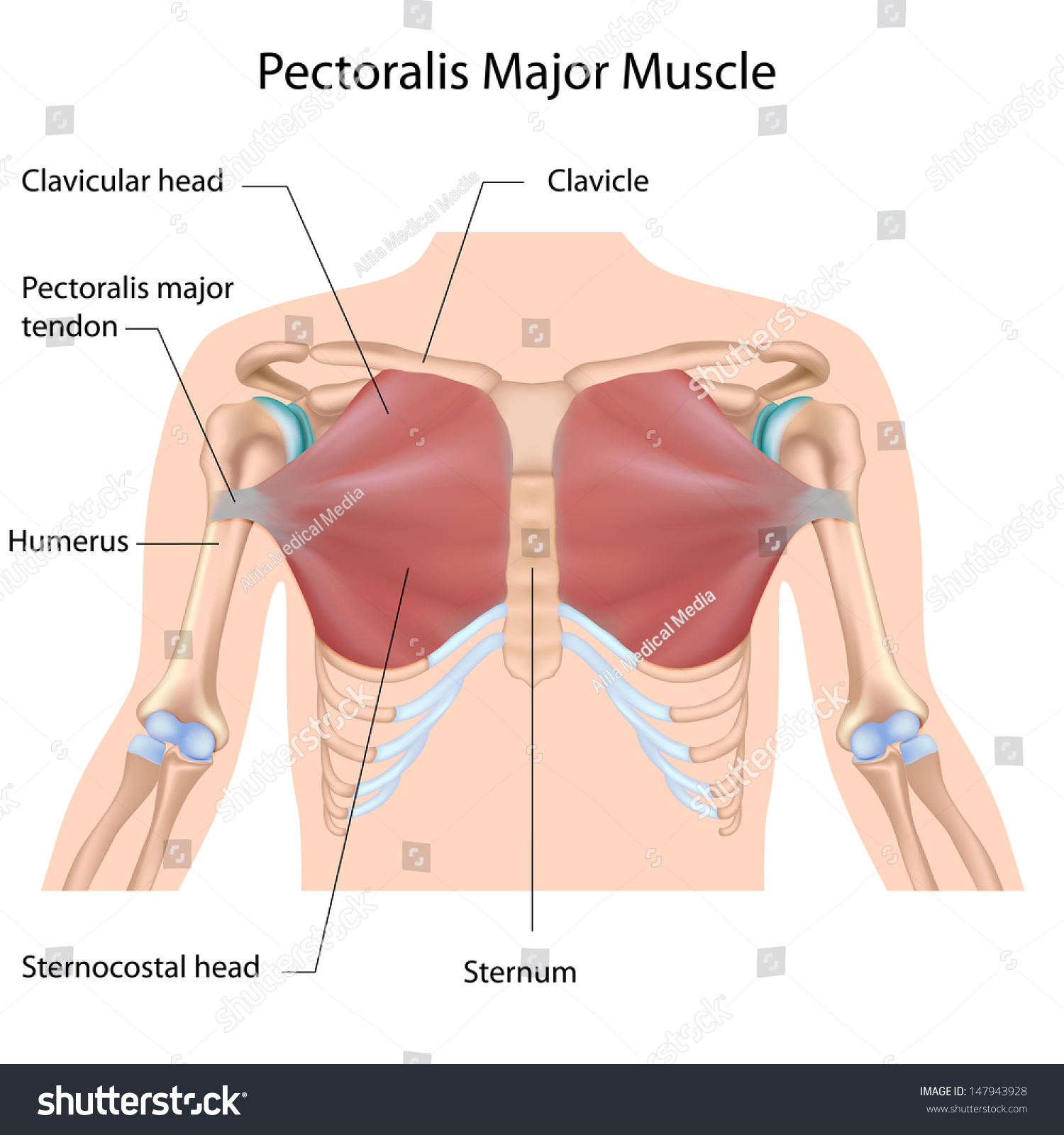 Where is the pectoralis major located?