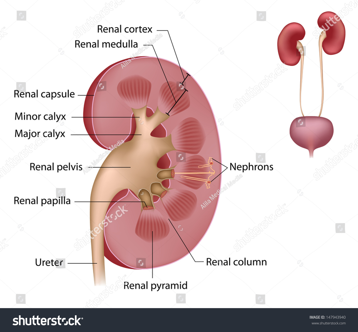 Royalty Free Stock Illustration Of Kidney Anatomy Labeled Stock