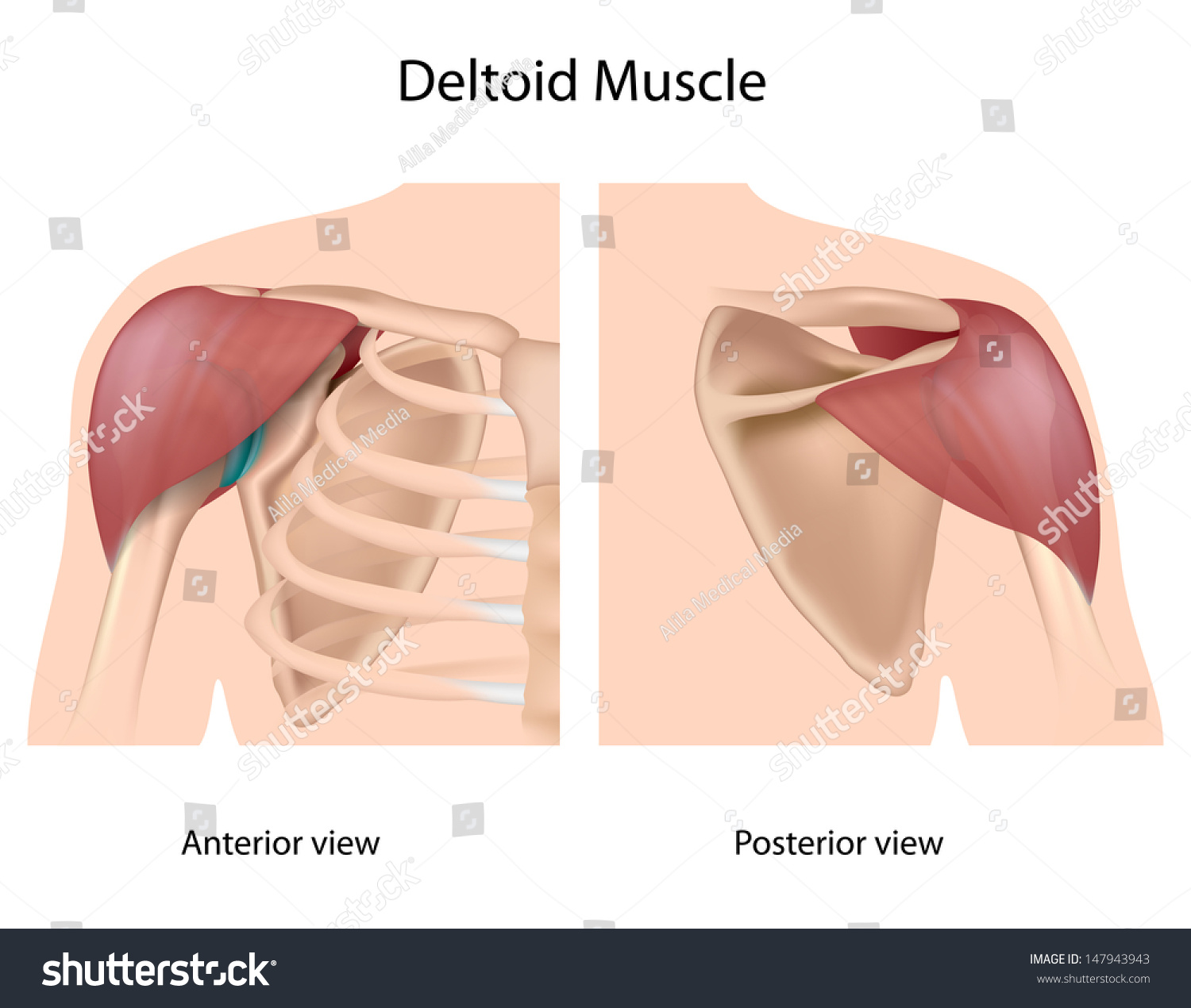 Deltoid Muscle Stock Illustration Royalty Free Stock Illustration