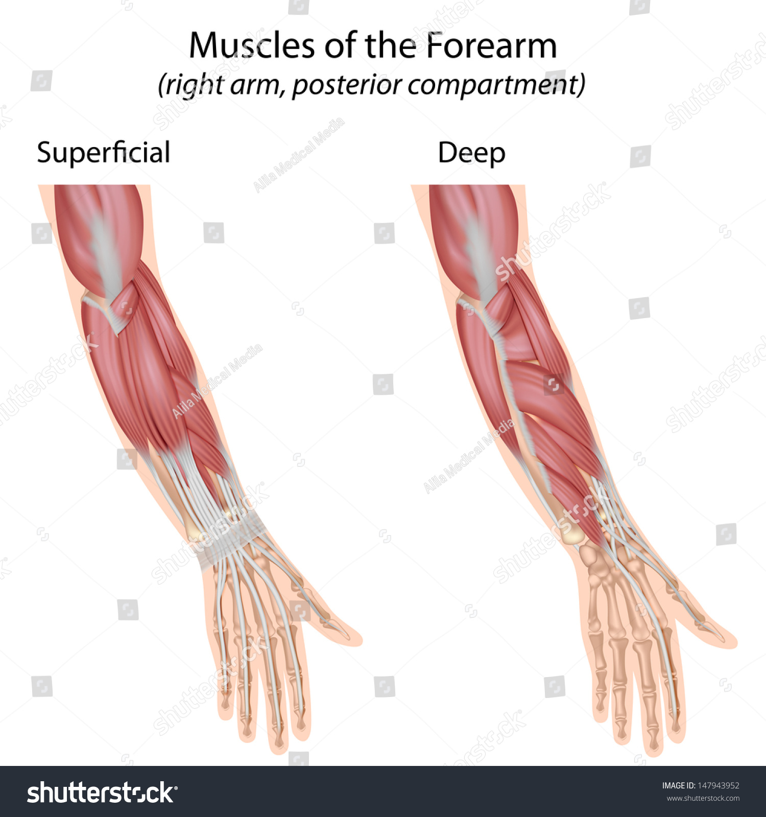Forearm Muscles Dorsal Compartment Unlabeled Stock Illustration ...
