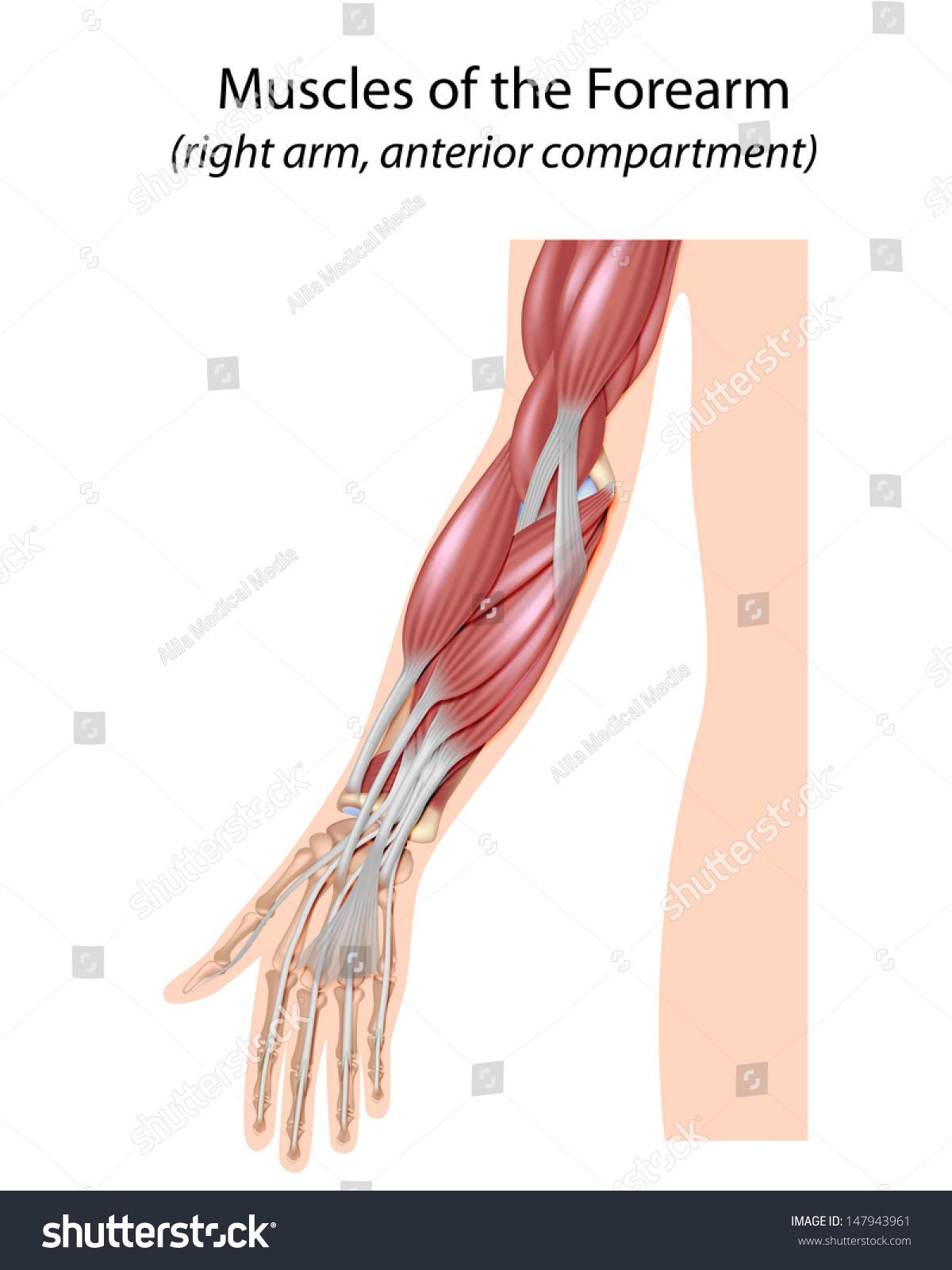 Muscles Forearm Unlabeled Stock Illustration 147943961 - Shutterstock