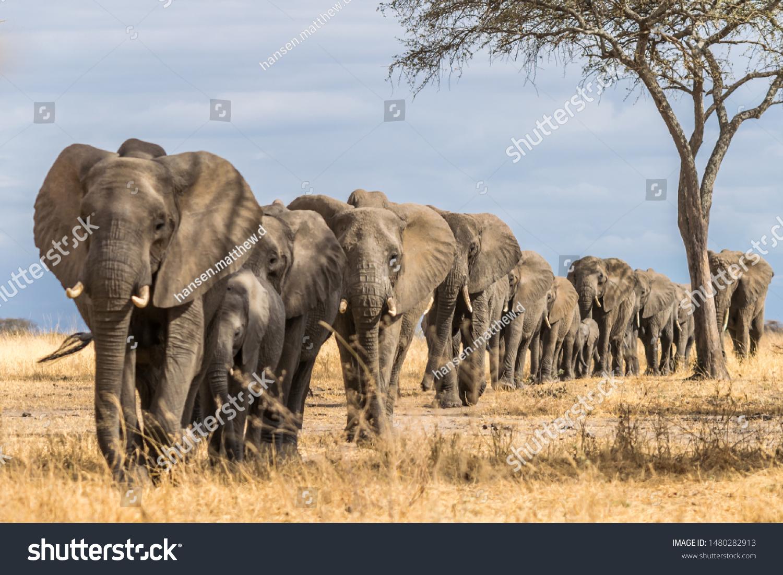 Herd of Elephants in Africa walking through the grass in Tarangire National Park, Tanzania #1480282913