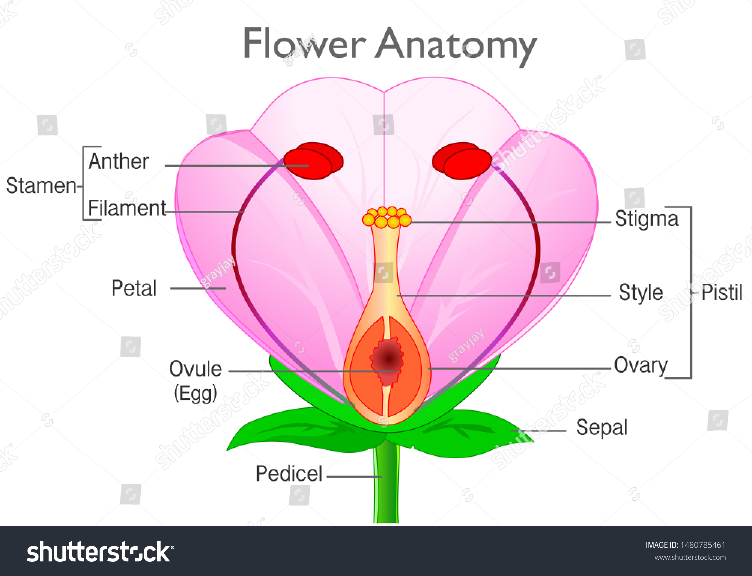Flower Anatomy Plant Reproductive System Diagram Stock