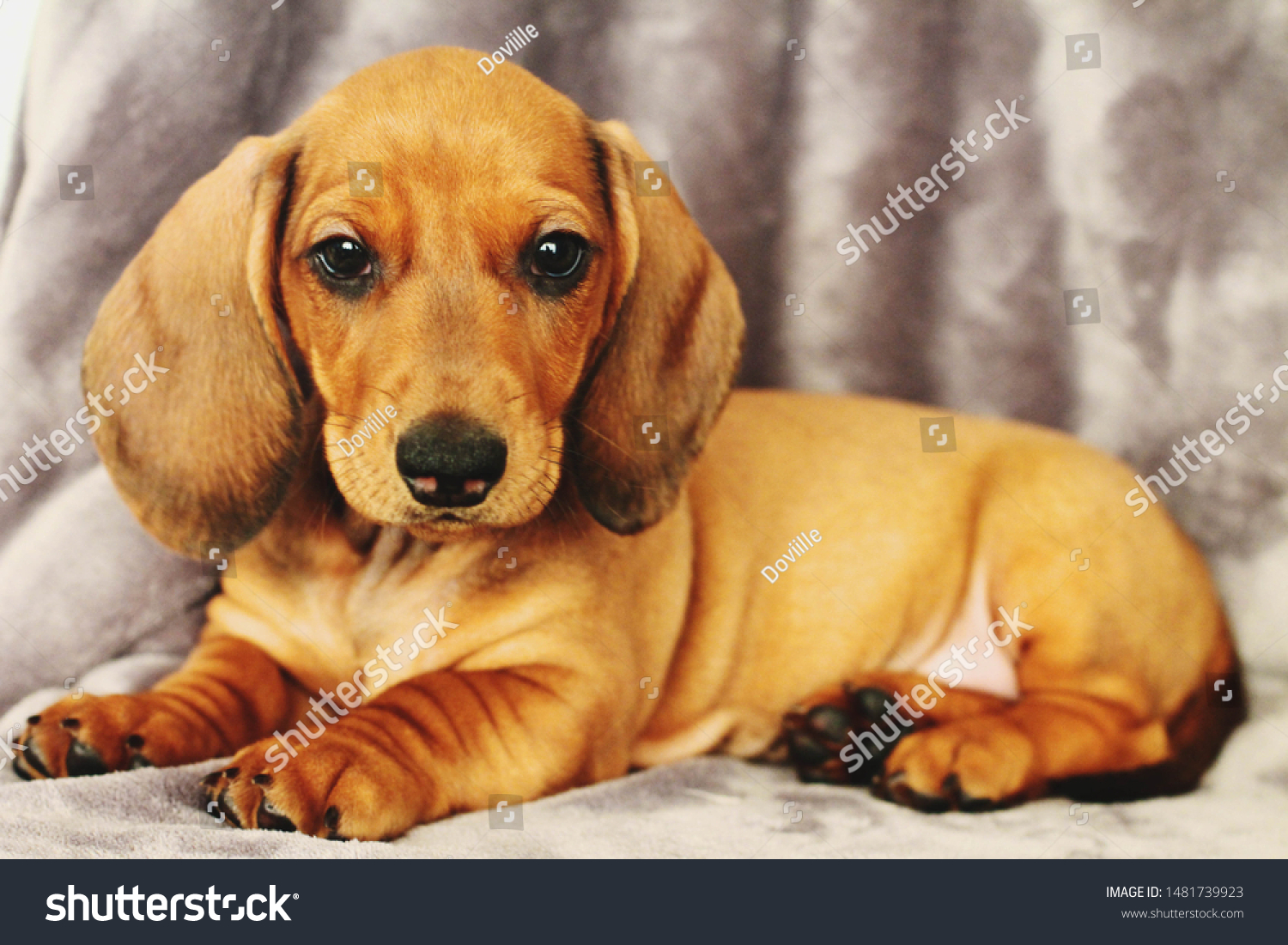 Standard Dachshund Puppy Grey Background Stock Photo Edit Now 1481739923