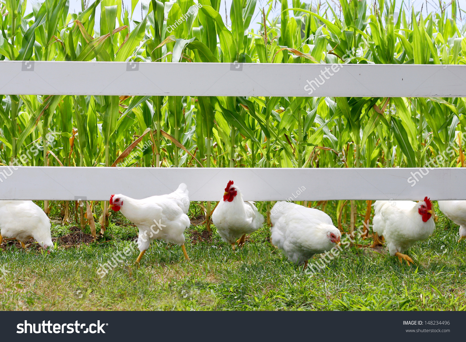fluffy white chickens roosters running toward stock photo