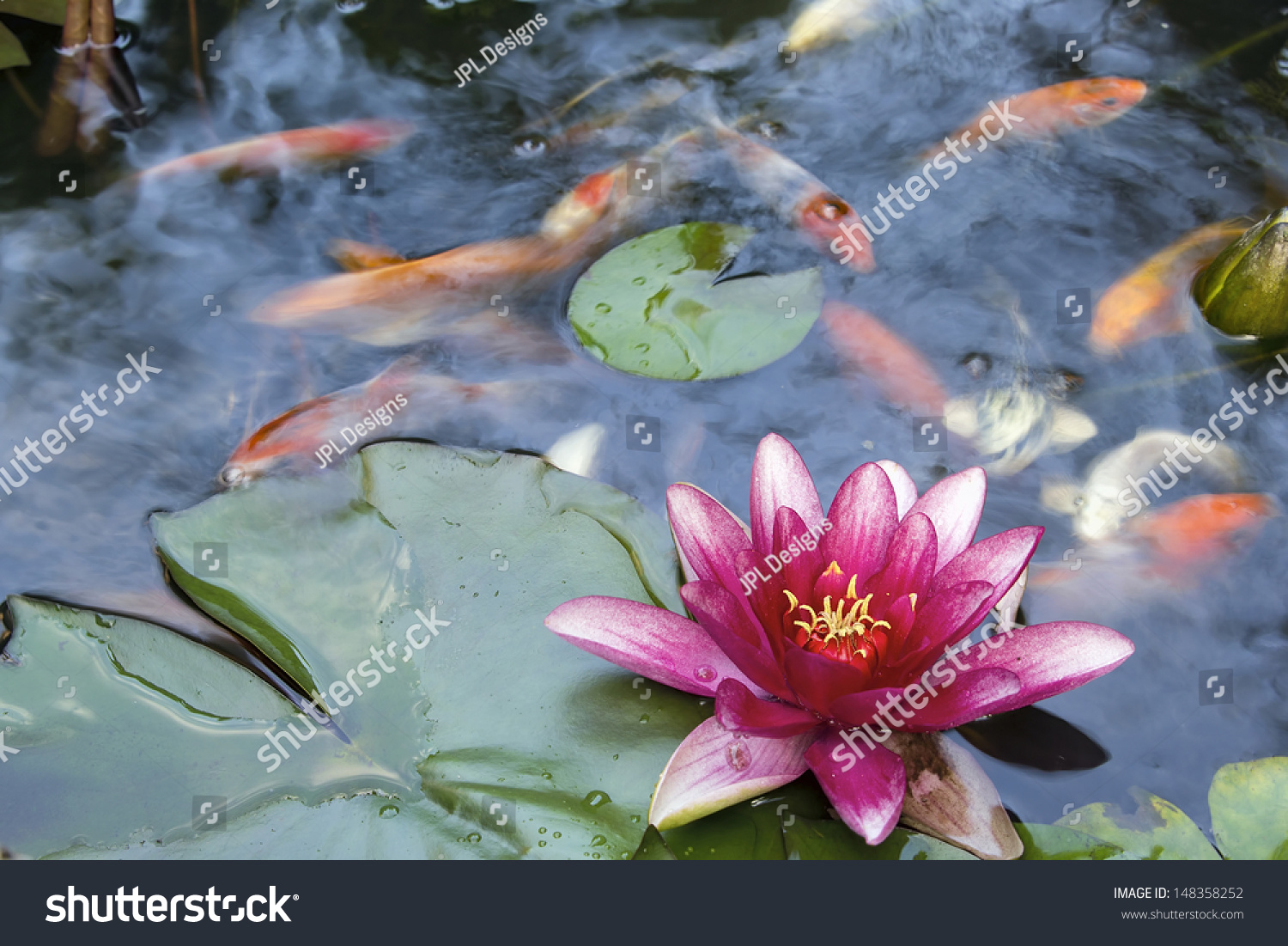 Pink water lily flower blooming in pond with koi swimming for Koi pond you can swim in