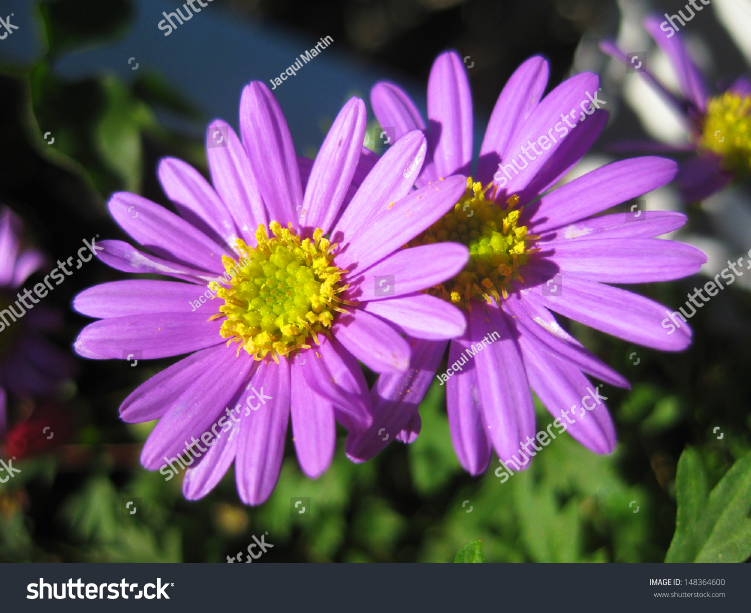 Beautiful purple daisy flowers sunlight green stock photo edit now beautiful purple daisy flowers in sunlight with green foliage in background izmirmasajfo
