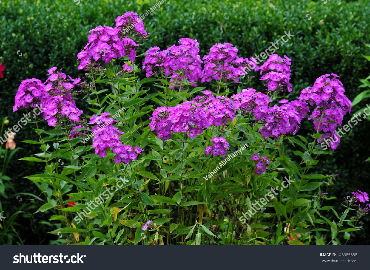 Phlox Paniculata Garden Phlox Bloom Stock Photo 148385588