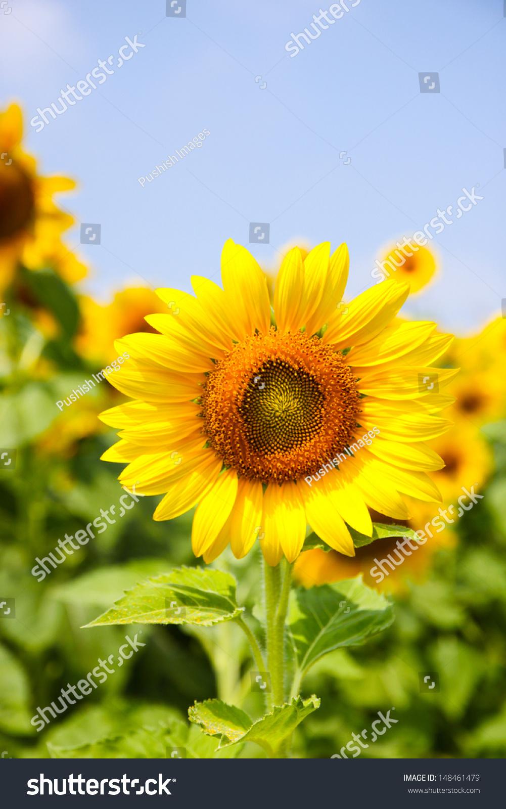 Sun Flower In Field Thailand Ez Canvas