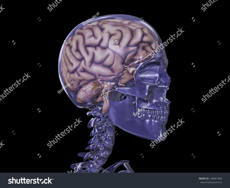 Royalty Free Stock Illustration of Transparent Skull Brain Stock ...