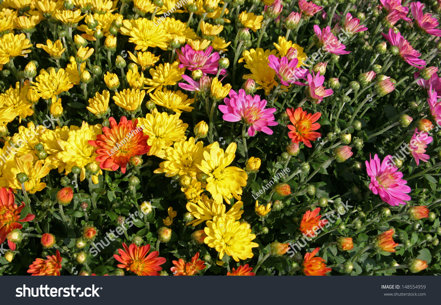 Large potted chrysanthemums form beautiful bright stock photo 148554959 shutterstock - Potted autumn flowers ...