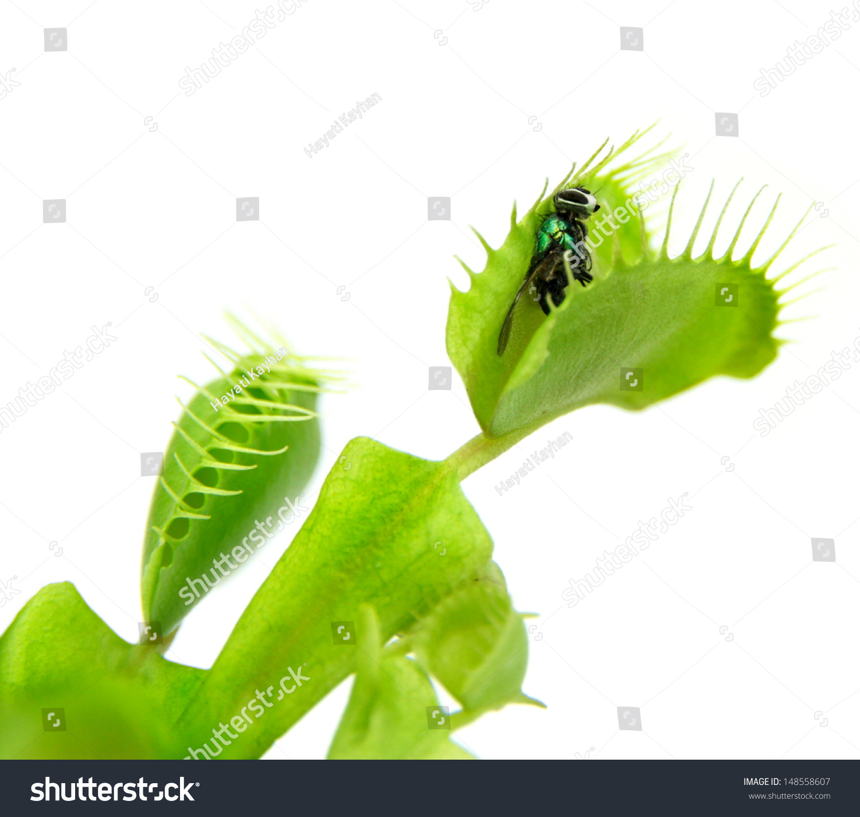 carnivorous plant flytrap dionaea muscipula stock
