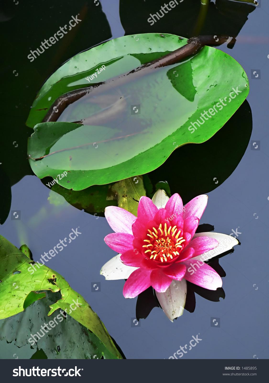 Single Blossom Pink Lotus Flower Japanese Stock Photo Edit Now