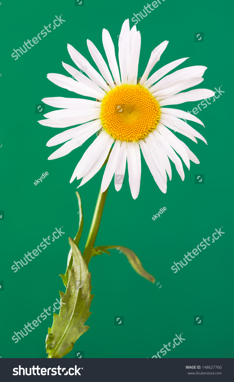 Daisylike flower species flowering plant aster stock photo 148627760 the daisy like flower is a species of flowering plant in the aster family known izmirmasajfo
