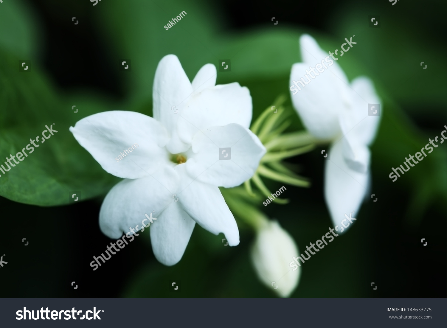 Jasmine Flower Ez Canvas