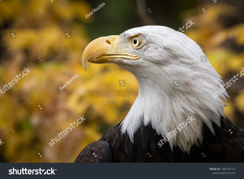 - Profile Bald Eagles Head Yellow Fall Stock Photo (Edit Now) 1486701137