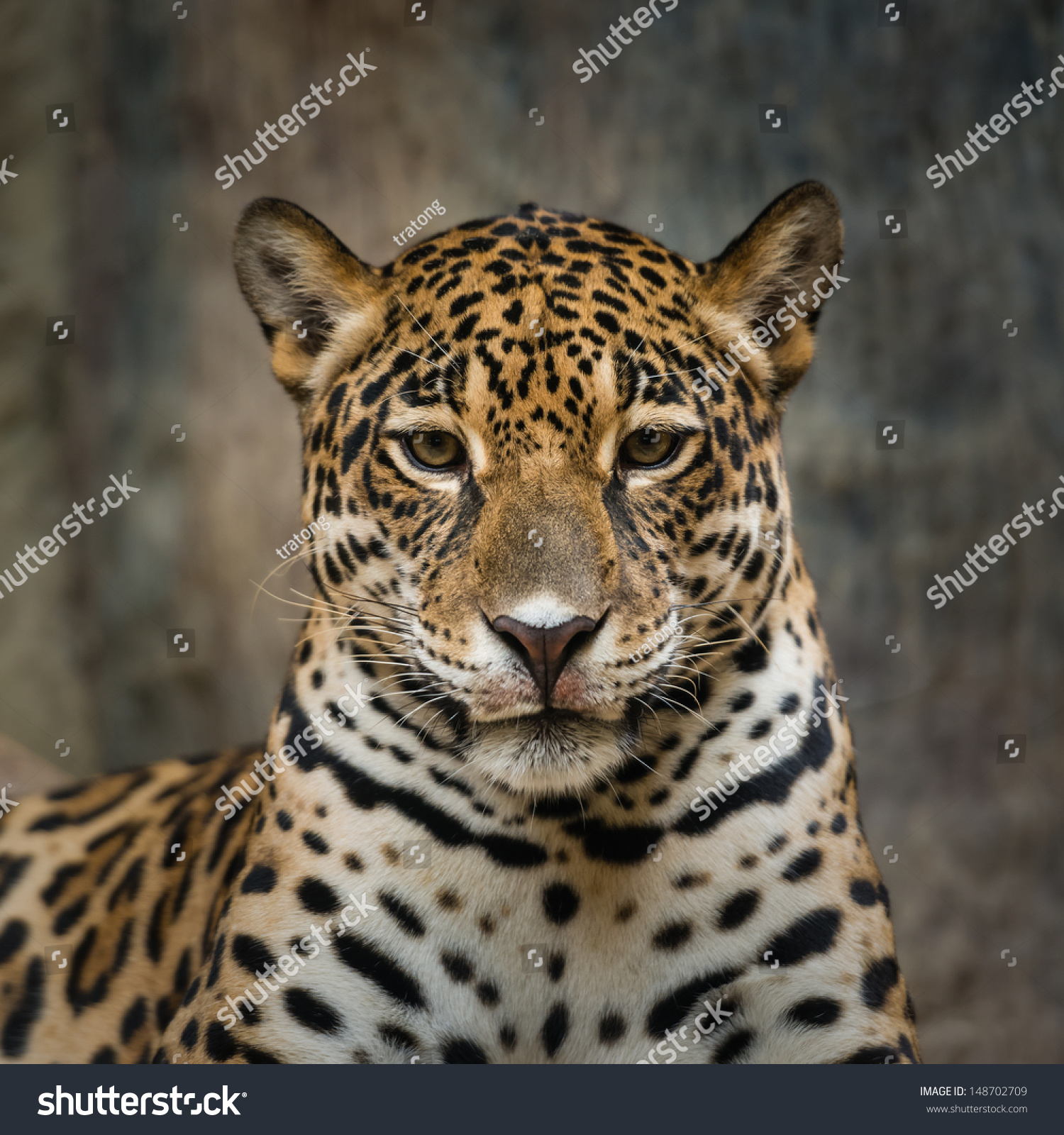 Ferocious Jaguar: Jaguar Stock Photo 148702709 : Shutterstock