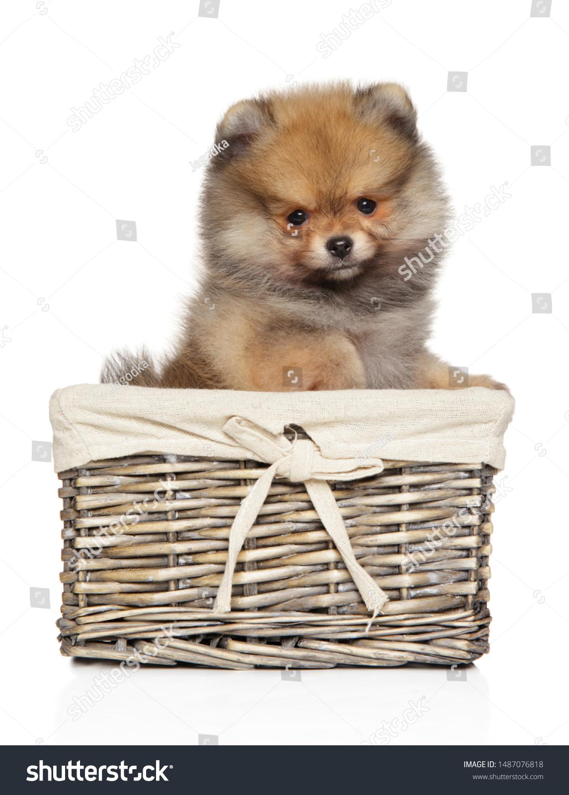 Pomeranian Puppy Sitting On White Background Stock Photo Edit Now 1487076818