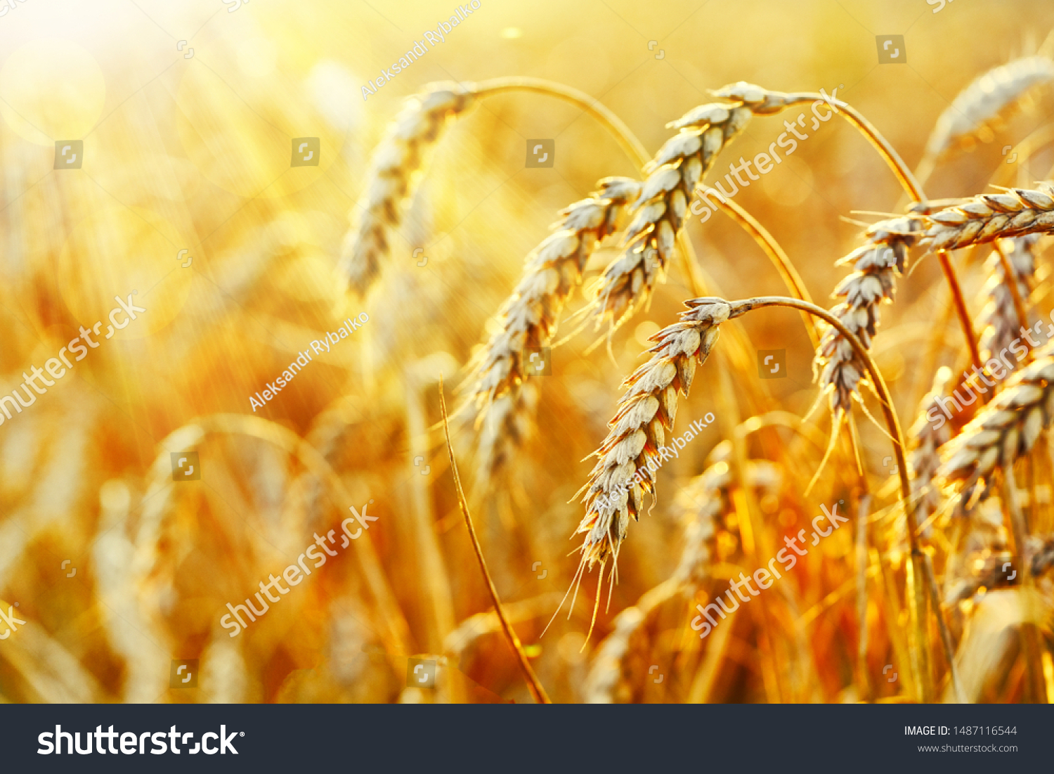 Wheat field. Ears of golden wheat. Beautiful Sunset Landscape. Background of ripening ears. Ripe cereal crop. close up #1487116544