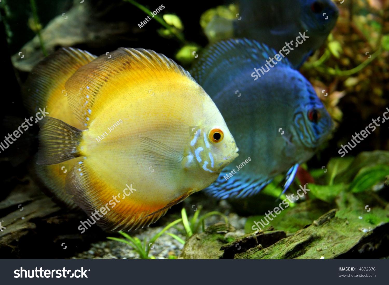 Orange Blue Discus Fish Tropical Freshwater Stock Photo