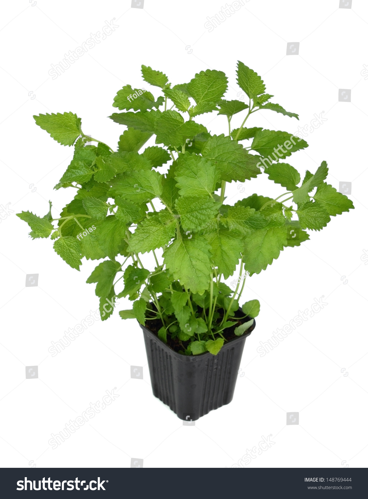 Lemon balm melissa officinalis balm mint sprout in flower pot stock photo 148769444 - Aromatic herbs pots multiple benefits ...